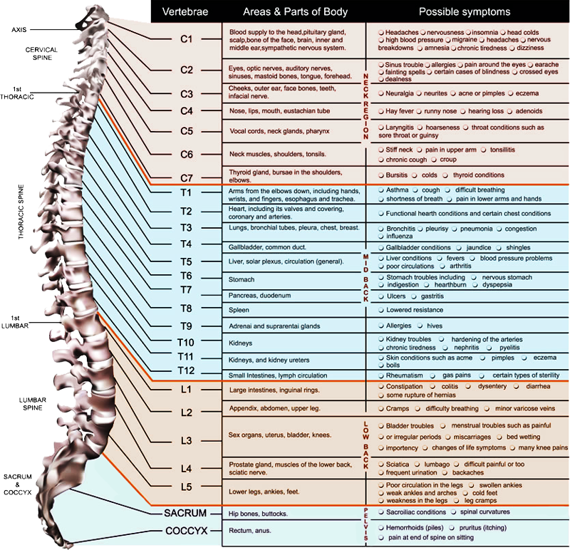 Chiropractic4All.com | Spinal Chart